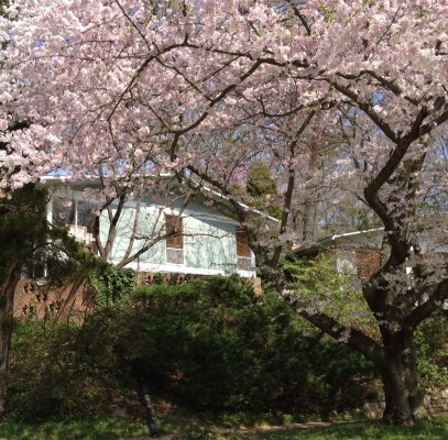 Rock Creek Woods cherry blossoms